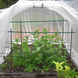 broad-bean-grow-house